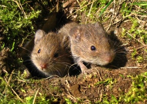 Как избавиться от крыс в огороде