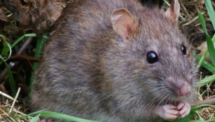 Избавляемся от крыс в огороде