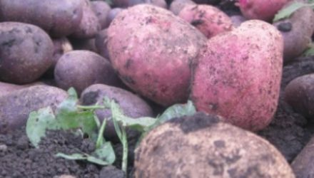 Лучшие сорта картофеля для высокого урожая