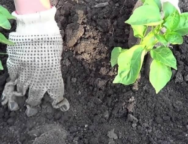 Высадка баклажан в открытый грунт