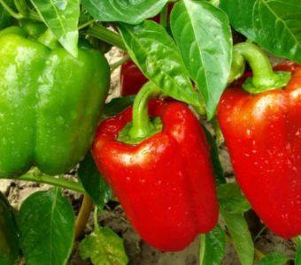 Выращиваем болгарский перец из семян