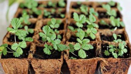 Как вырастить рассаду клубники из семян