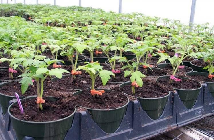 Подготовка земли для рассады помидор