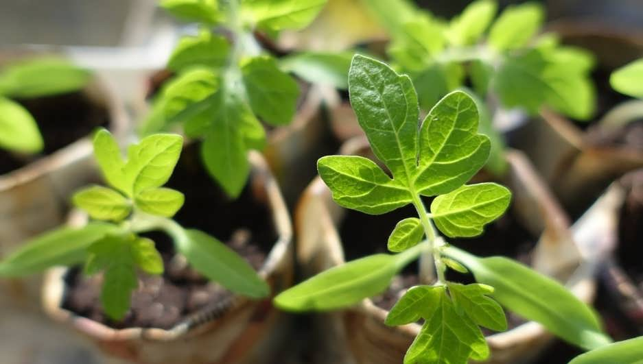 Выращивание рассады помидор своими руками