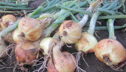 Правильное выращивание лука и польза его для красоты и здоровья