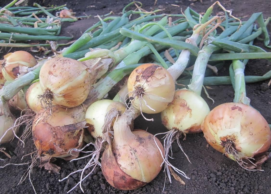 Выращивание лука, использование его для красоты и здоровья