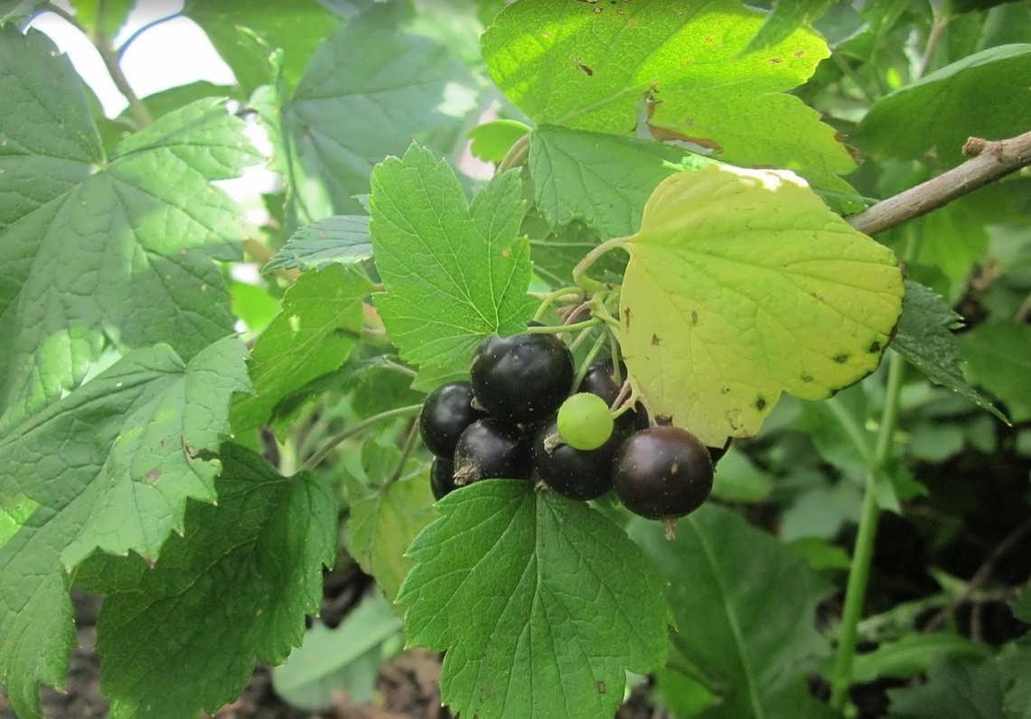 Черная смородина ягоды